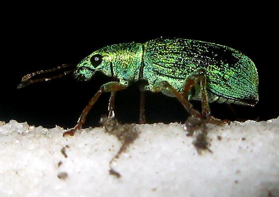 Green Immigrant Leaf Weevil - Polydrusus formosus