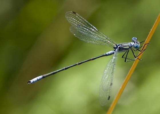 Sweetflag? - Lestes disjunctus - male