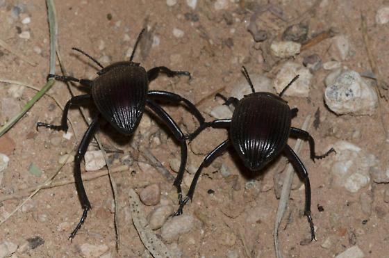 Darkling Beetles - male - female