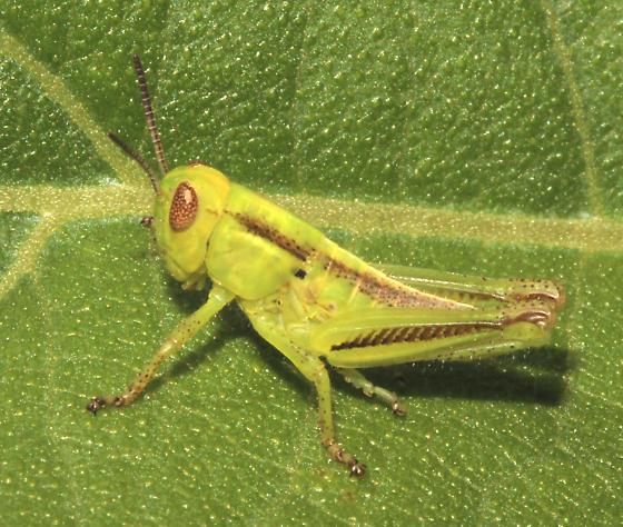 Mellanoplinae (Spur-throated), Two-Striped Grasshopper - Melanoplus bivittatus