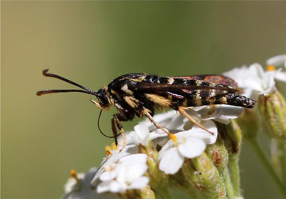 Moth ??? - Albuna pyramidalis