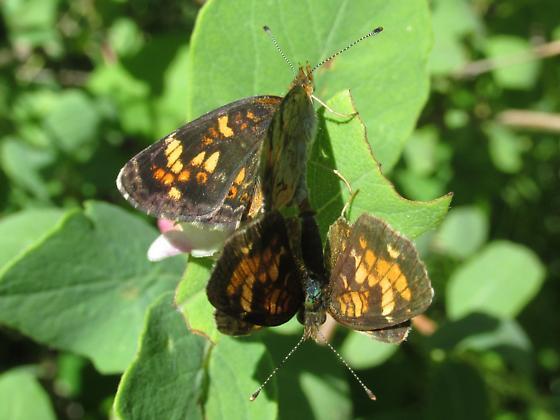 Phyciodes batesii lakota - Phyciodes batesii - male - female