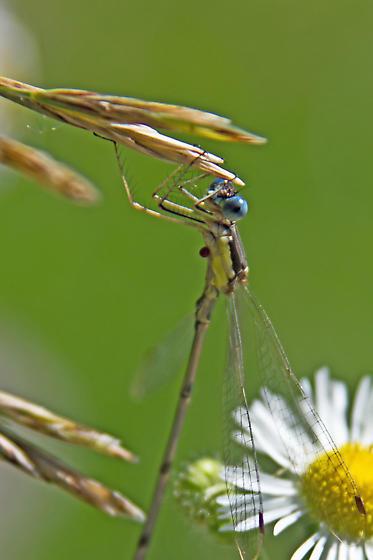 Spreadwing Damselfly to ID - Lestes rectangularis - male