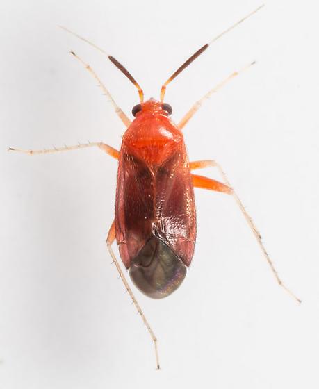 Plant Bug - Rhinocapsus rubricans - male