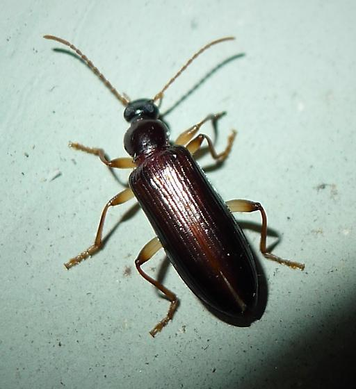 Coleoptera - Statira