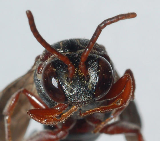 Unknown Hymenoptera - Epeolus glabratus