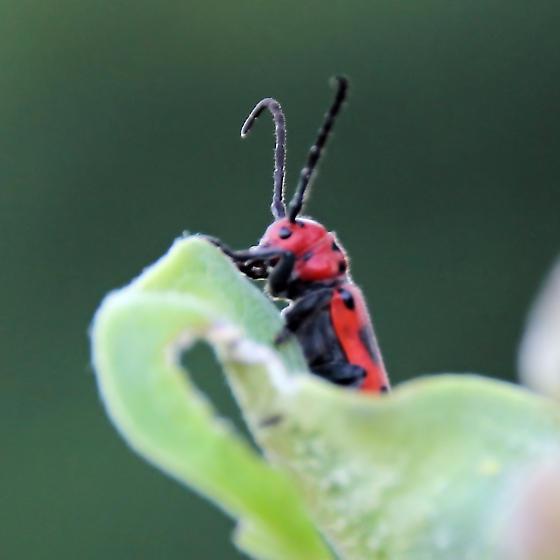 Red and Black Bug on Milkweed