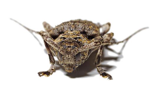 Longhorn beetle - Lagocheirus obsoletus