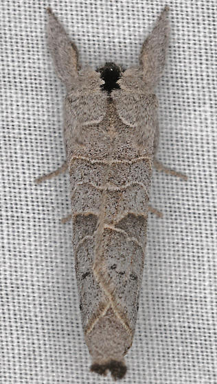Moth, dorsal - Clostera paraphora
