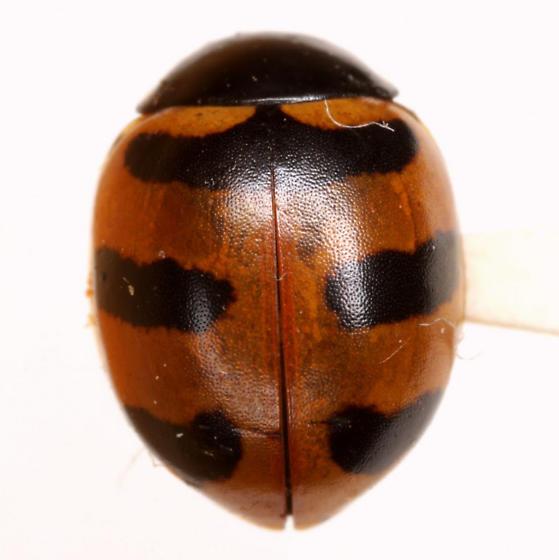 Coccinella trifasciata perplexa (Mulsant) - Coccinella trifasciata