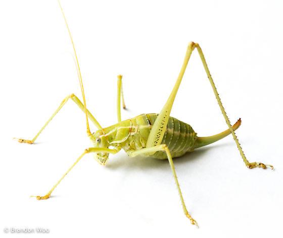 Obolopteryx gladiator - female