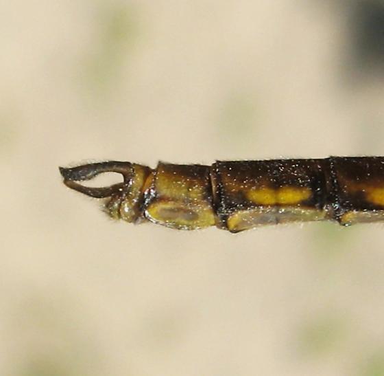 Neurocordulia yamaskanensis - male