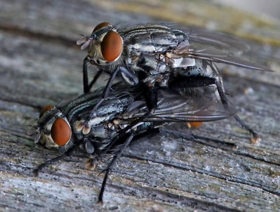 Flies for ID - male - female
