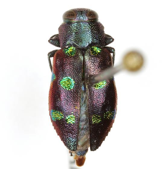 Chrysobothris chrysoela (Illiger) - Chrysobothris chrysoela