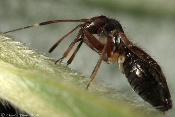 Pilophorus - Pilophorus confusus