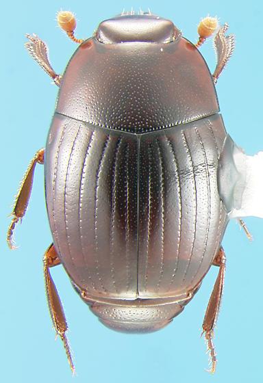 Histerid - Epierus pulicarius