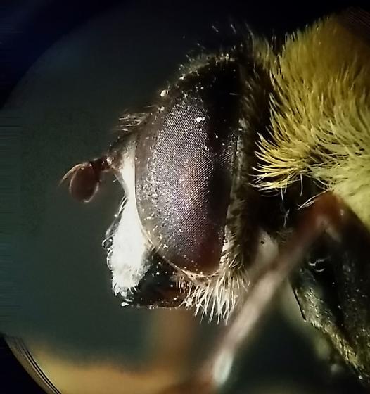 Syrphidae - Mallota posticata