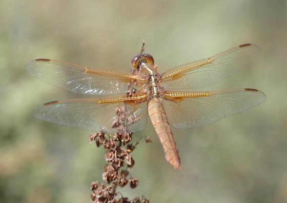 Flame skimmer for California in October - Libellula saturata - female