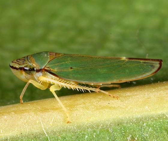 Leafhopper - Graphocephala rufimargo