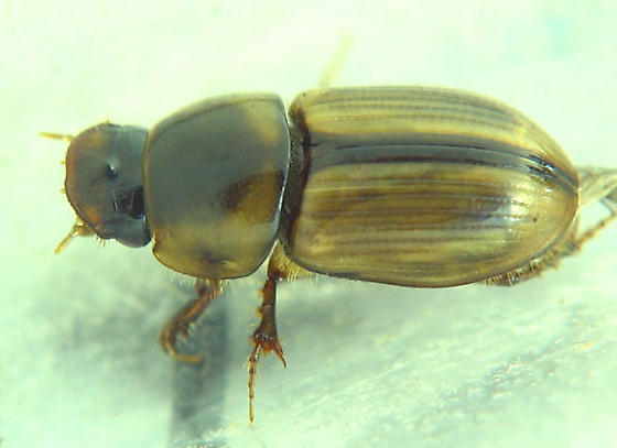 dark-sutured aphodiine dung beetle - Aphodius lividus