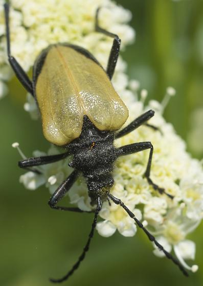 Flower Longhorn Beeetle - Pachyta armata