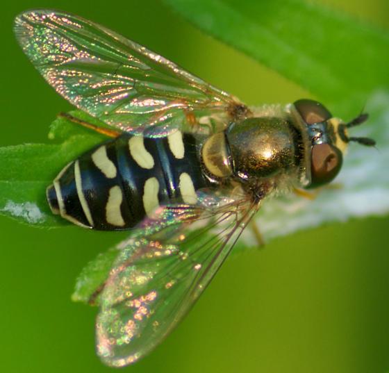 Eupeodes species? - Eupeodes volucris