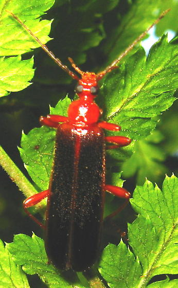 Red Beetle with unbranched antenae on Mill Creek nature trail - Dendroides marginatus