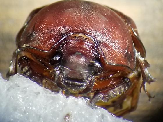 Bradycinetulus ferrugineus - female