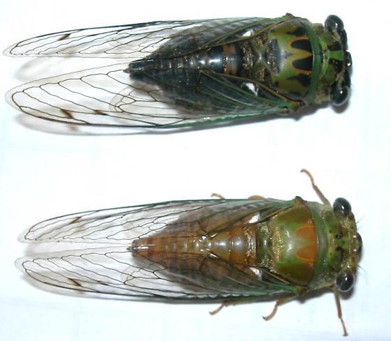 Tibicen winnemanna (aberration) - Neotibicen winnemanna - male