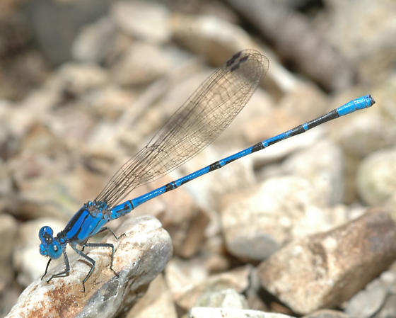 Springwater Dancer - Male from Kansas Tallgrass Prairie - Argia plana - male