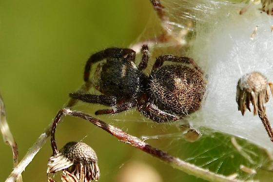 Brilliant Jumping Spider? - Phidippus