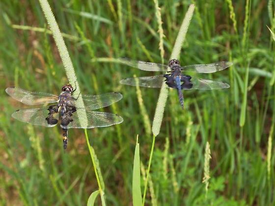 Black Saddlebags Male & Female - Tramea lacerata - male - female