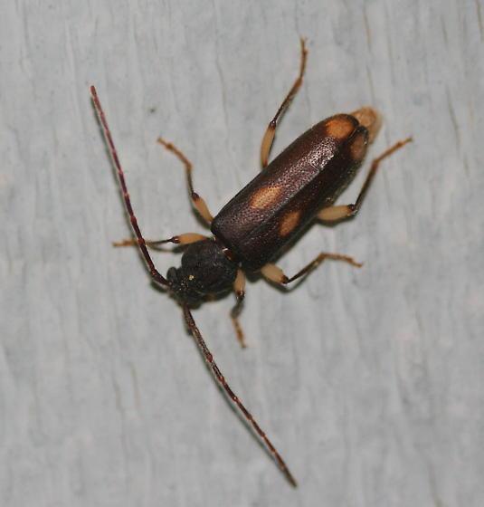 cerambycinae? - Tylonotus bimaculatus
