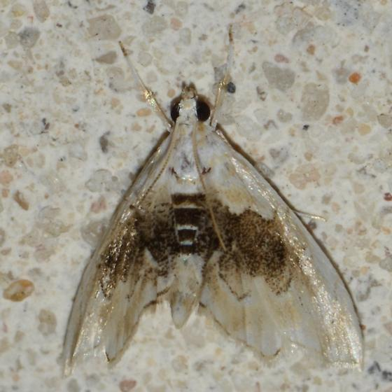 No. 293  Lipocosma sicalis? - Lipocosma sicalis