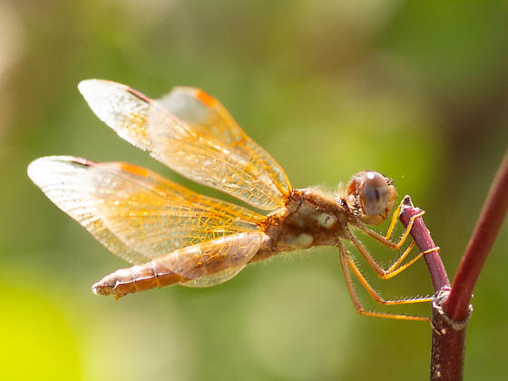 Could this be an Amberwing? - Perithemis tenera
