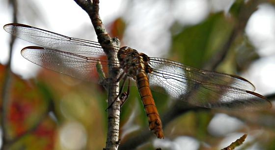 Can someone identify this golden dragonfly? - Orthemis ferruginea