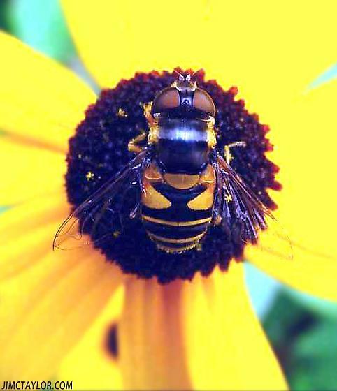 Beefly - Eristalis transversa - female