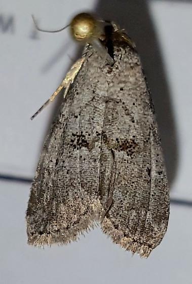 Small kentucky moth - Hyperstrotia secta