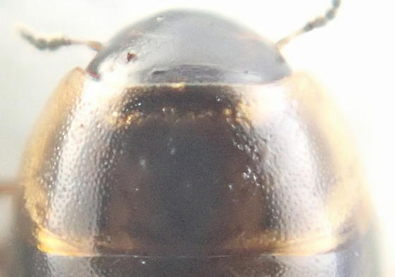 Beetle - Anacaena