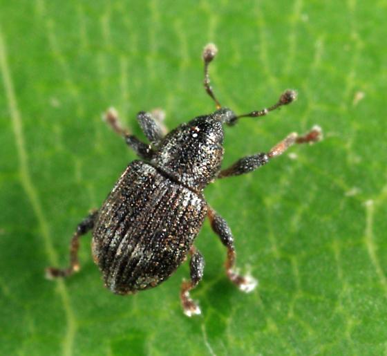 weevil - Tanysphyrus lemnae