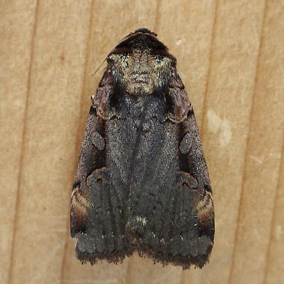 Noctuidae: Pseudohermonassa bicarnea - Pseudohermonassa bicarnea