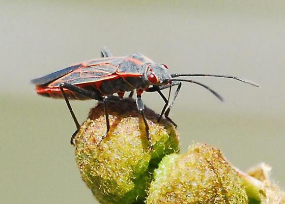Western box elder bug for California in March - Boisea rubrolineata