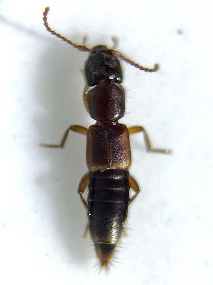 Staphylinid - Achenomorphus corticinus