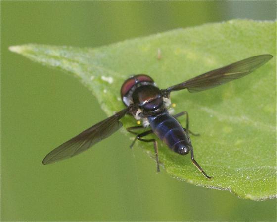 Family Syrphidae - Syrphid Flies, ID please - Ocyptamus