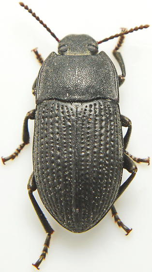 S53 Alaetrinus - Alaetrinus aciculatus