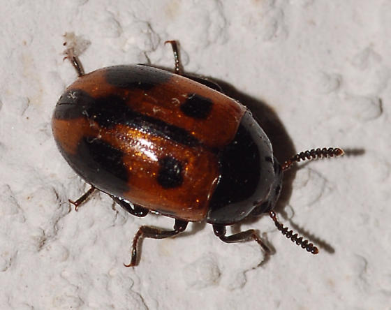 Beetle on the ceiling - Diaperis maculata