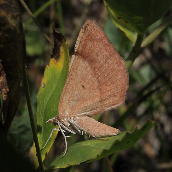 Most likely is Sericosema juturnaria - Bordered Fawn Moth - Sericosema juturnaria