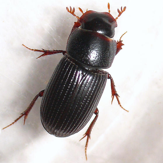 Dung beetle - Ataenius spretulus