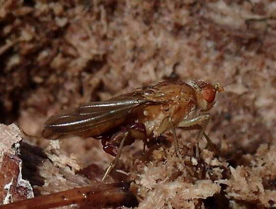 Fly with Pseudoscorpion Hitch-hikers