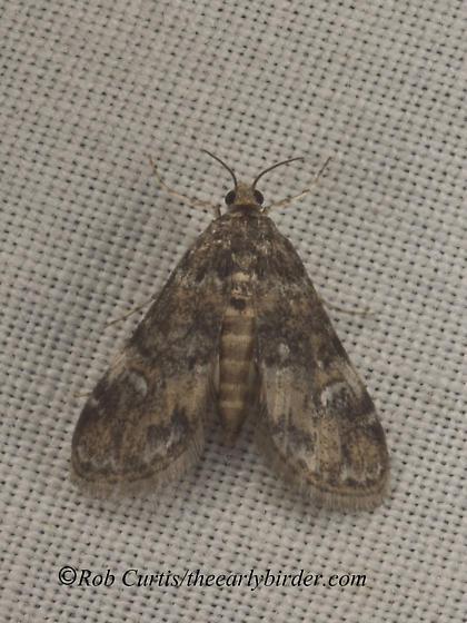 9050175 Elophila - Elophila obliteralis